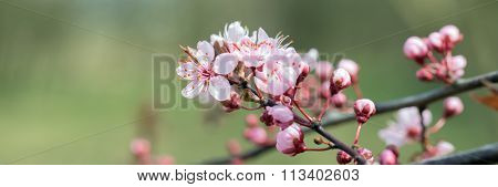 Detail of a branch of almond blossom, Prunus dulcis poster