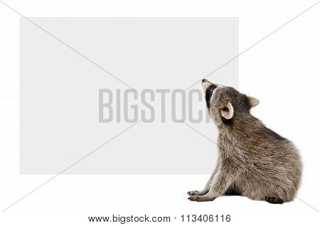Raccoon sitting looking at the banner