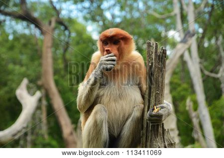Proboscis monkey sitting on a root eating