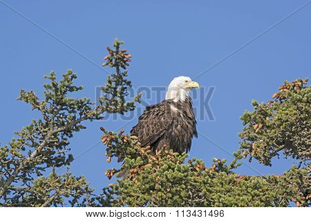 Bald Eagle Watching The Landscape