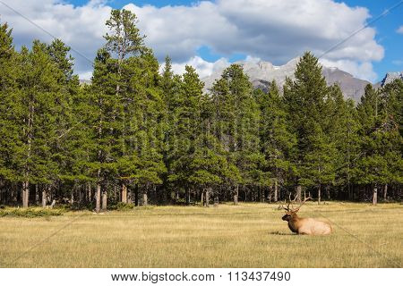 The red deer with branchy horns lies in a grass on fringe of the forest. The deer has a rest. Rocky Mountains in Canada