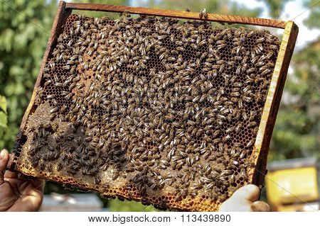 Apiarist Holding A Healthy Honey Bee Frame Covered With Bees And Capped Larvae Cells