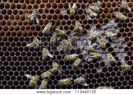 Dead bees covered with dust and mites on an empty honeycomb from a hive in decline plagued by the Colony collapse disorder and other diseases poster