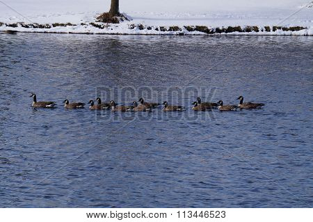 A flock of migrating Canada geese (Branta canadensis) stops and swims in a small, man-made lake, in the Wesmere Country Club subdivision of Joliet, Illinois. poster