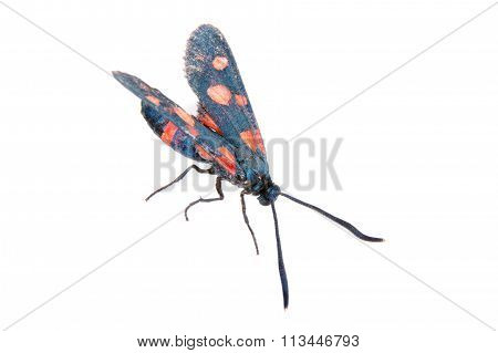Six-spot burnet isolated on the white background