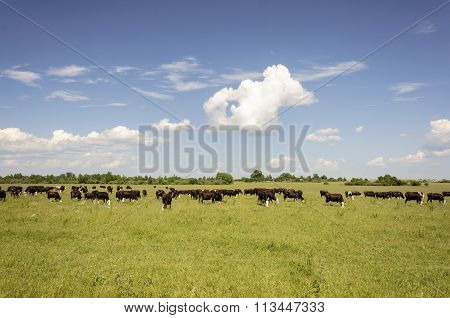 Cows Grazing On A Green Meadow