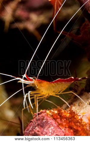 Cleaner Shrimp (lysmata Amboinensis)