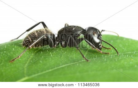 Side View Of Ant On Leaf