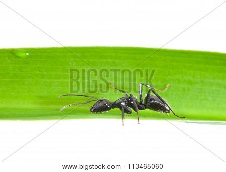 Side View Of Ant On Grass