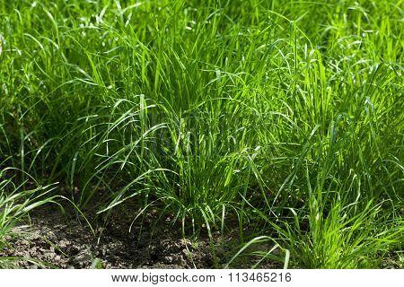Grass Tussocks At Tillage