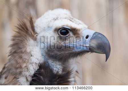 Face Portrait Of A Cinereous Vulture (aegypius Monachus)
