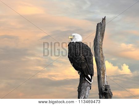 Bald Eagle Inspiration