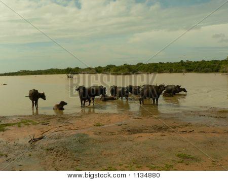 Wild Buffalos Resting In A Lake