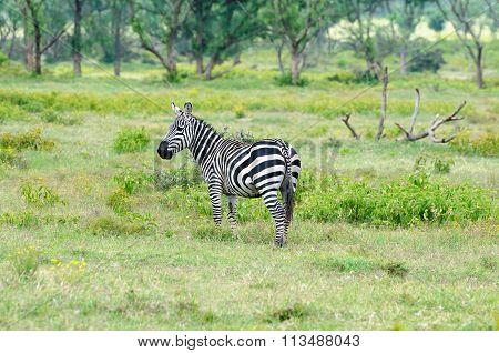 Wildlife Zebra In Africa