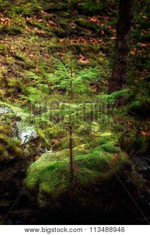 Winning Sprit Of A Tree Grew On A Rock. Soft Focus, Blured Background, Low Key, Dark Background, Spo