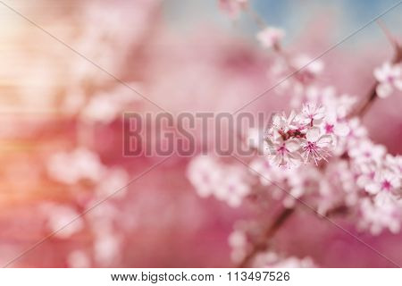 Abstract Pink Spring Background With Cherry Sakura Blooms, Early