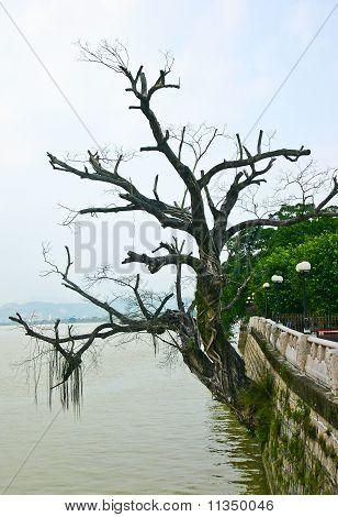 Aging Tree At Riverside