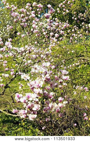 Pink magnolia trees in blossom with flowers.