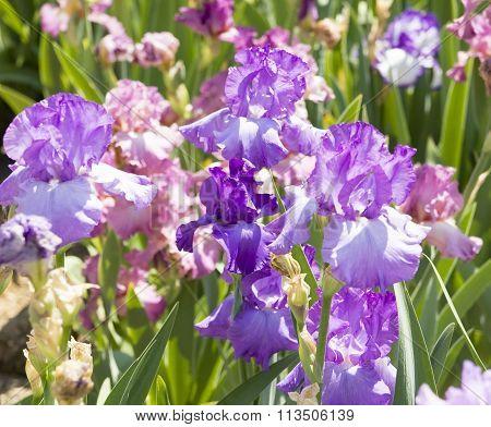 Blue irises on flowerbed sort Rofling thunder.
