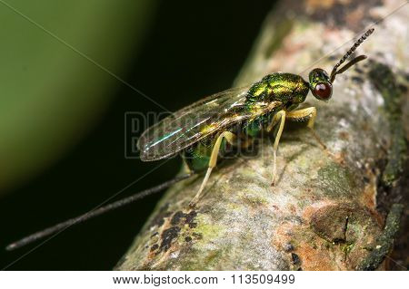 Chalcid wasp (Torymus species) with ovipositor showing