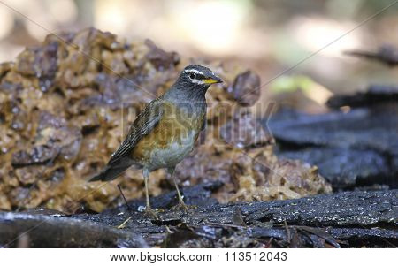 Very close up of Eyebrowed Thrush, White-browed Thrush, Dark Thrush (Turdus obscurus ) on the wood