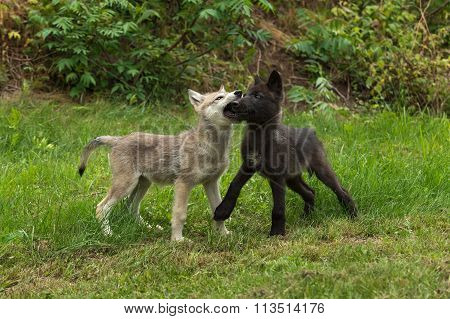 Two Grey Wolf Pups (canis Lupus) Muzzle Grasp