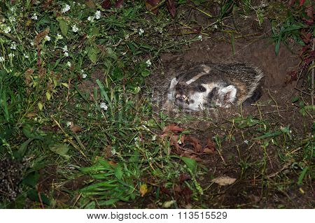 North American Badger (Taxidea taxus) Preps to Lunge - captive animal poster