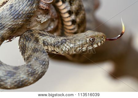 Dice Snake Show Tongue