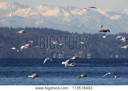 Gulls over Puget Sound