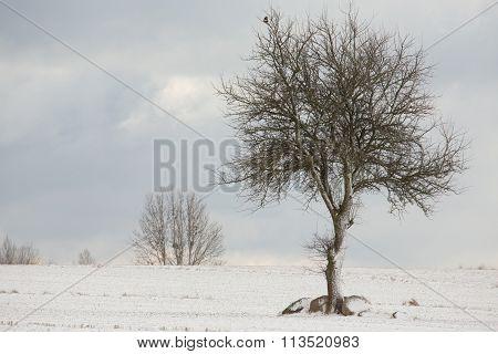 Lonely Deciduous Tree In Wintertime Snowy Field