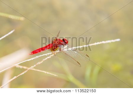 Ecological concept background. Red dragonfly resting on a straw, place for text