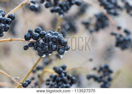 Ice-covered berries of a privet flowering plant in the winter garden