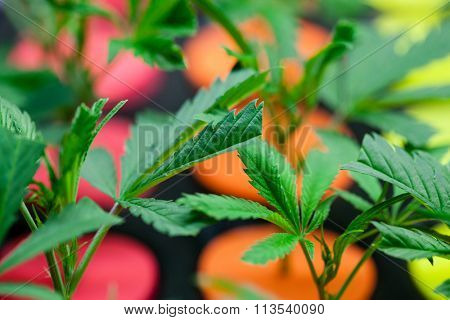 Young marijuana plants. Colored starters are used to differentiate varieties. very shallow depth of field.