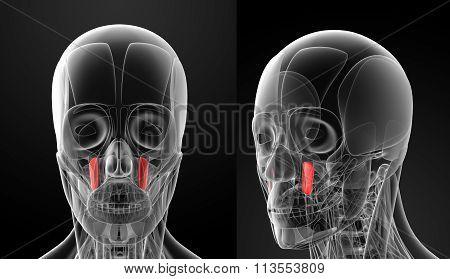 Medical Illustration Of The Levator Anguli Oris