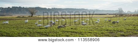 Trumpeter Swans (cygnus Buccinator) Over Wintering On Farmland In The Comox Valley