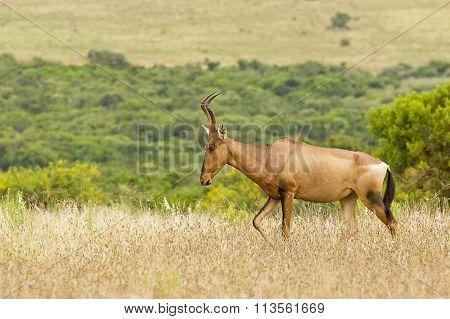 Beautiful Red Hartebeest Walking Through Dry Grass