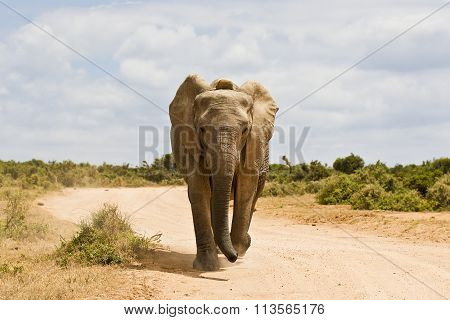 Young African Elephant Running Down A Gravel Road