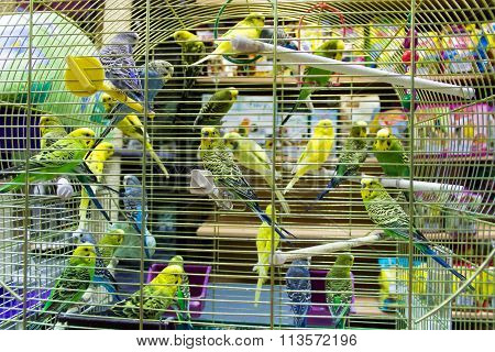 Wavy Parrots In The Hutch