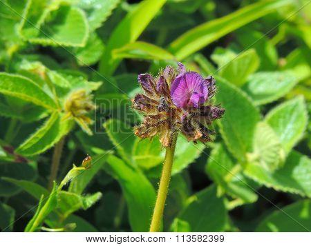 Blooming Flemingia Gracilis
