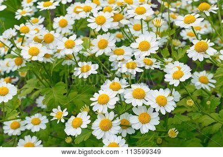 Flowers Feverfew (tanacetum Parthenium)