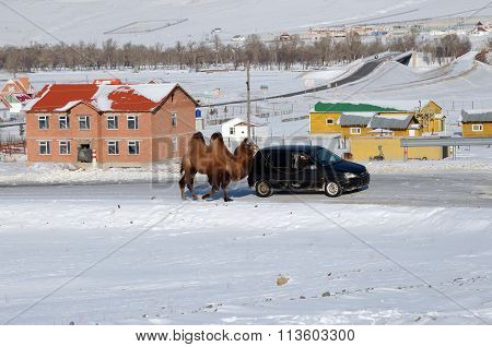 Central Aimag, Mongolia-Dec,03 2015: Camel is on a leash with the car in Terelj National Park