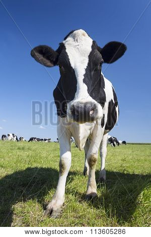 Portrait Of Black And White Cow