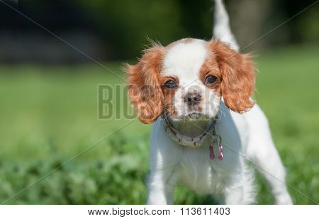 Spaniel Puppy Face