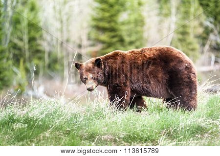 Grizzly Bear Encounter 3