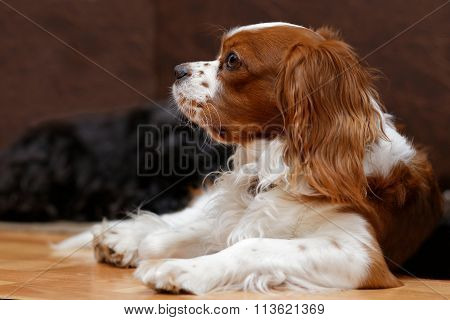 King Charles Spaniel Against Blurred Background