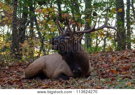 Elk Bugling While Laying Down In Fallen Leaves