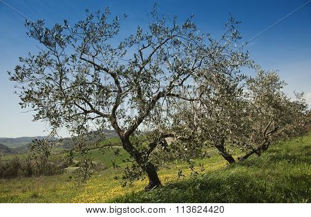 olive trees in spring