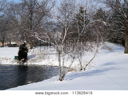 Gray Birch Trees in the Snow