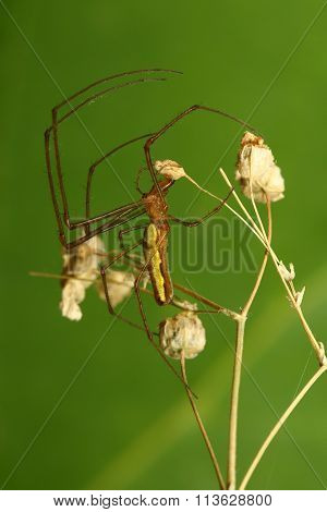 Long jawed spider Tetragnatha extensa on the green backround poster