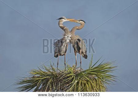 Pair Of Great Blue Herons Forming A Heart - Florida